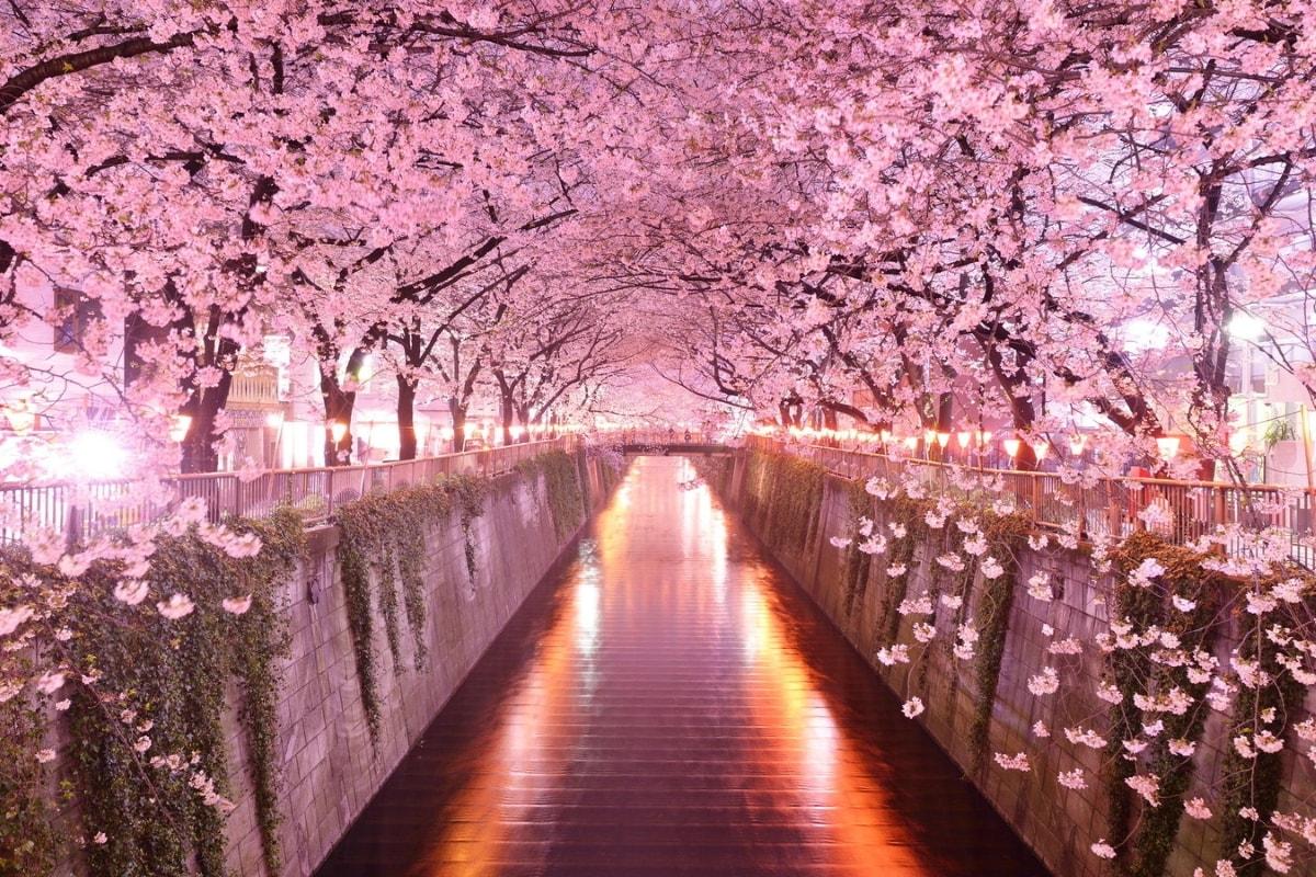 цветущая сакура днепр