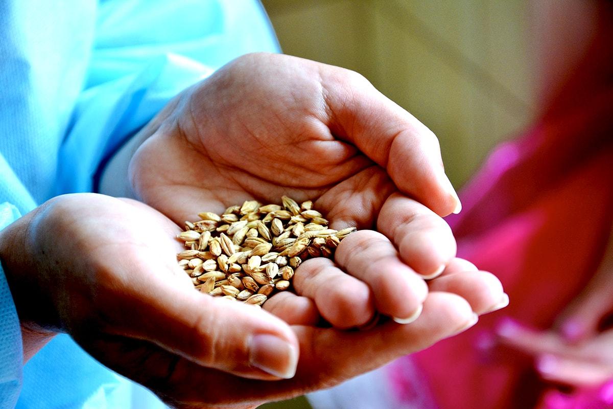 пшеничное зерно для пива